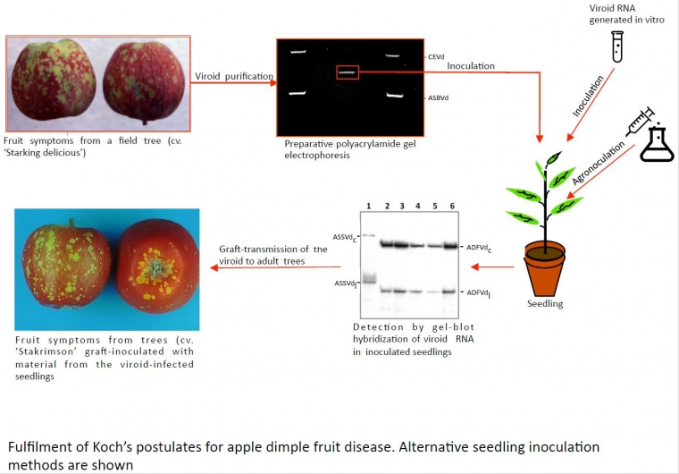 Viroid Diseases in Pome and Stone Fruit Trees and Koch's Postulates: A Critical Assessment